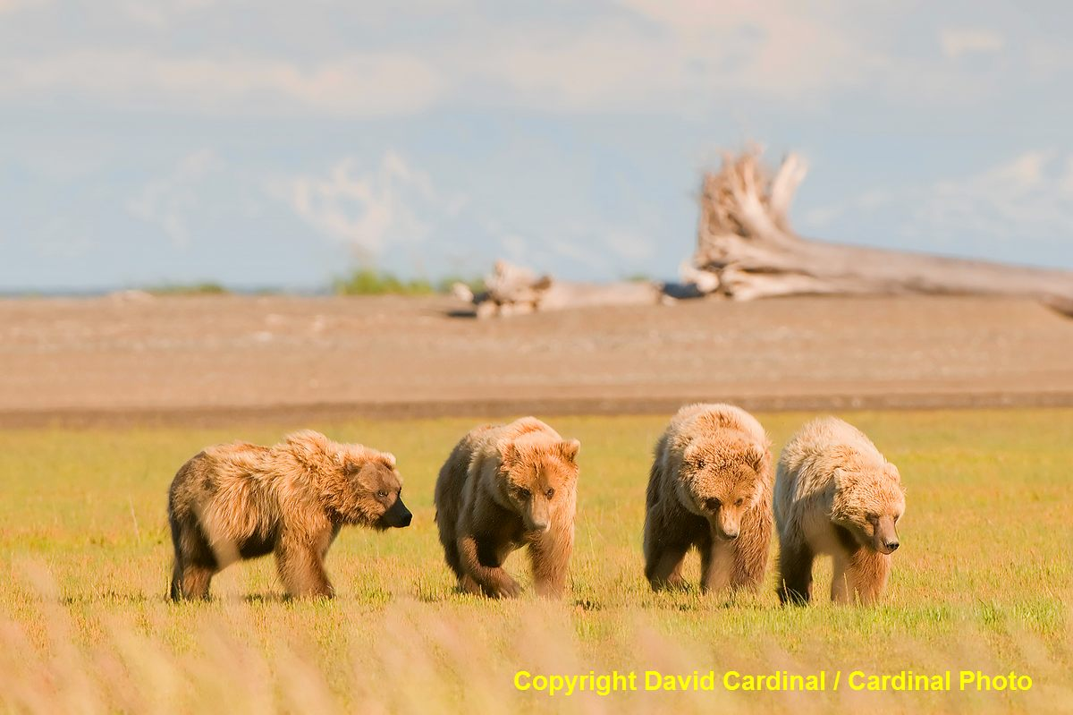 Young male grizzly bears